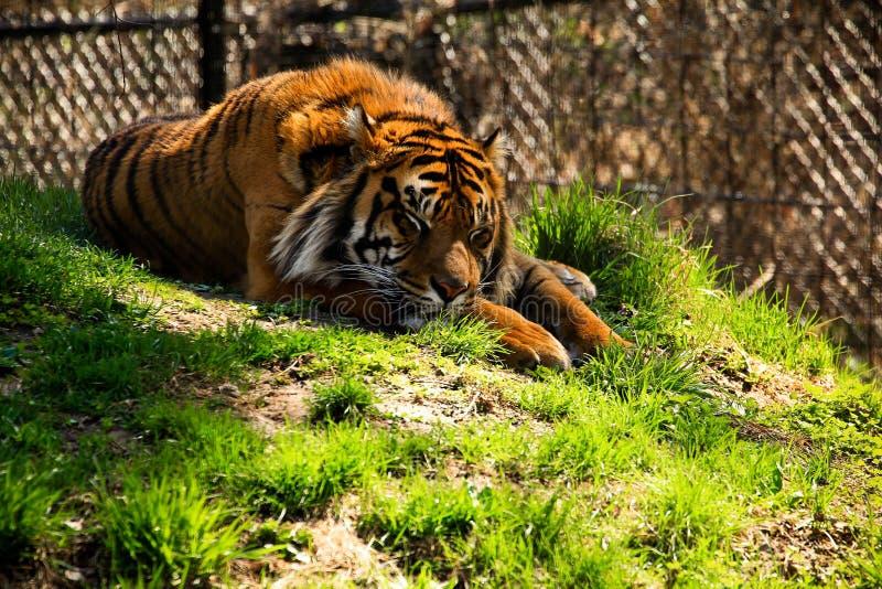 Tiger Sleeping photos stock