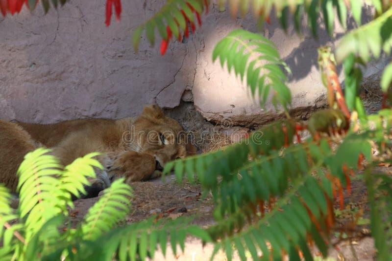 Tiger sleeping in zoo in nuremberg. royalty free stock photo