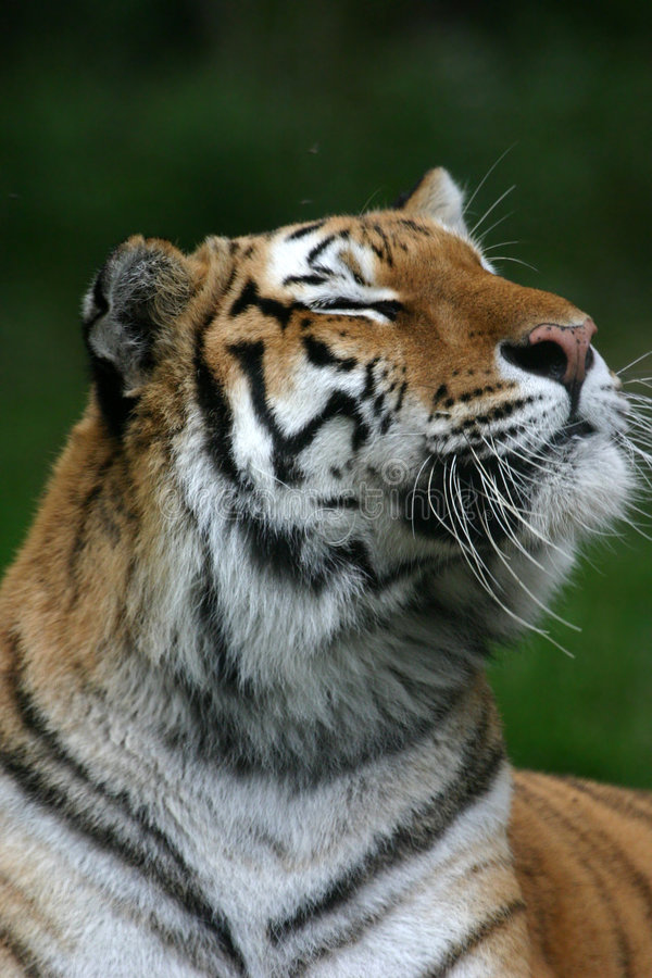 Tiger smelling the air stock photography
