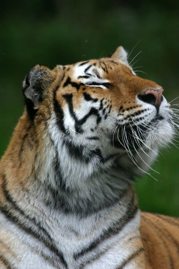 Tiger smelling the air. Tiger (Panthera tigris) portrait (captive stock photography