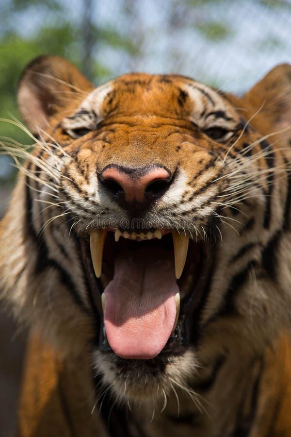 Tiger Smile royalty-vrije stock foto's
