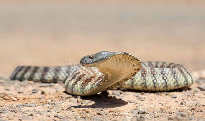 Tiger Snake immagine stock