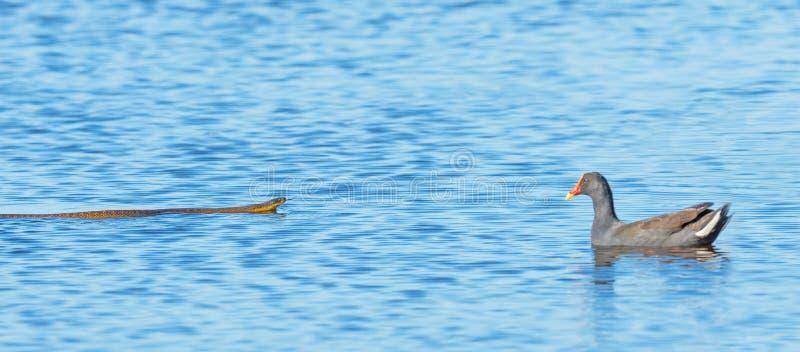 Tiger Snake et poule d'eau sombre photographie stock