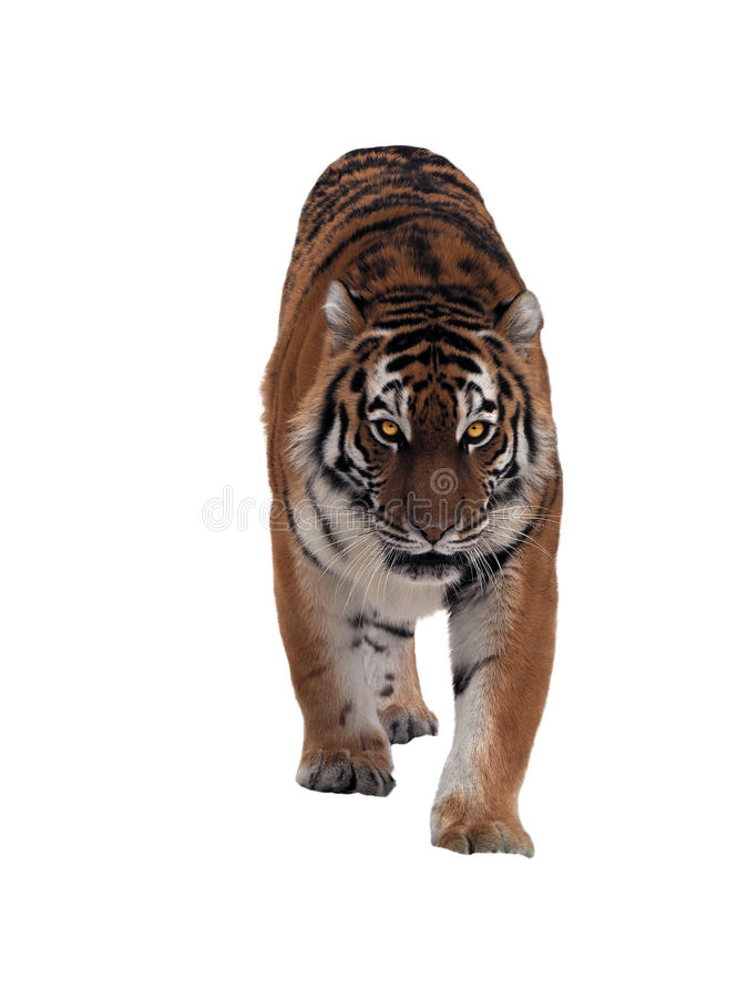 Tiger sneaks and looking at camera full size isolated on white. The Tiger sneaks and looking at camera full size isolated on white royalty free stock photography