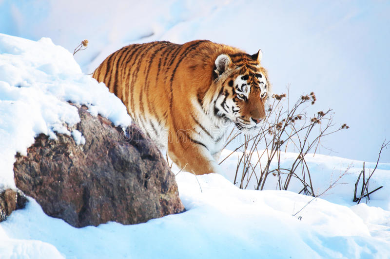 Tiger in the snow. In the winter royalty free stock image