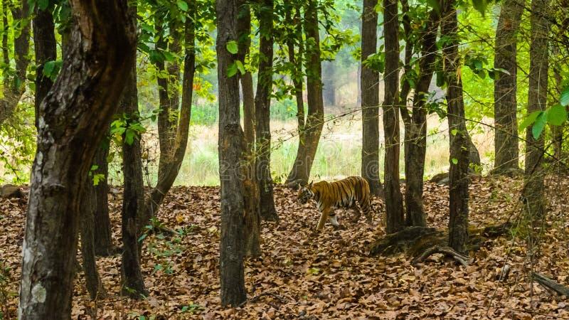 Tiger som går i skog royaltyfri bild