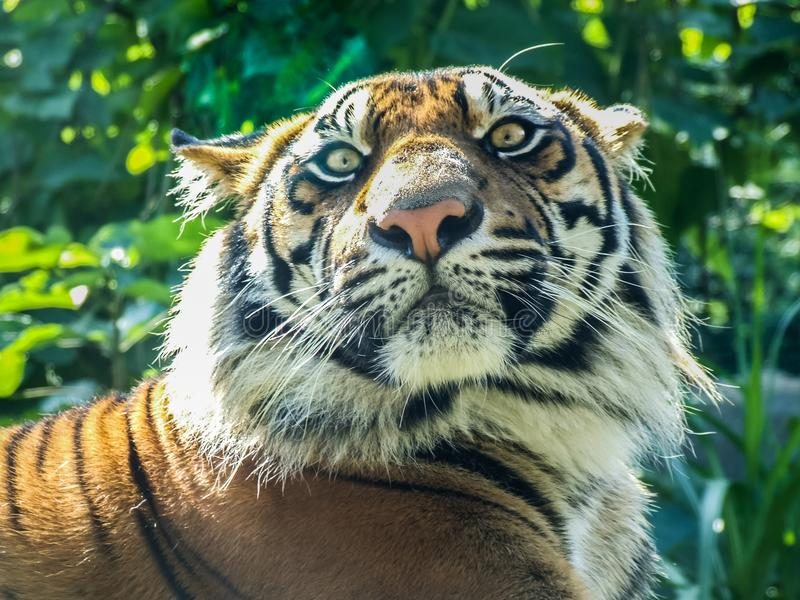 Tiger som håller ögonen på hans rov arkivbild