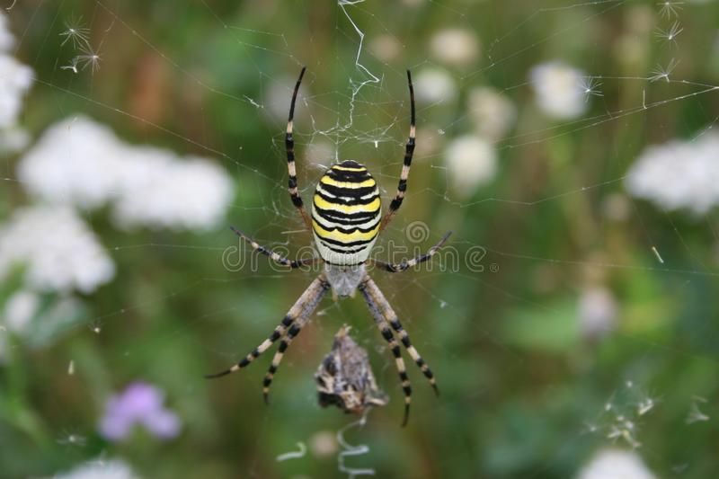 Tiger spider: yellow, white and black coloured spider in a web. Tiger spider: Argiope bruennichi sitting in a web, a spider with yellow, black and white stripes stock photos