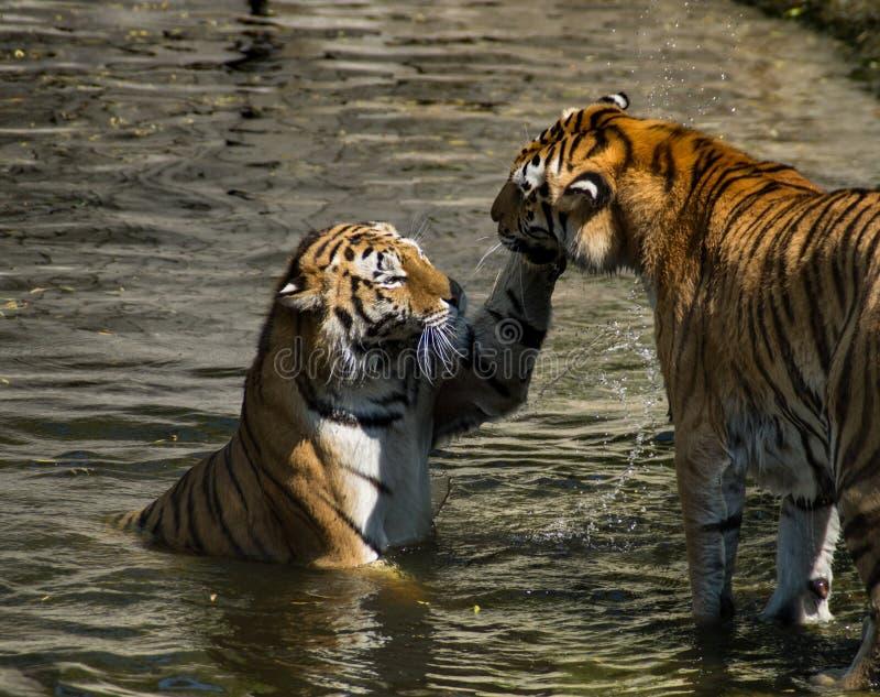 Tiger-Spiel stockfotos