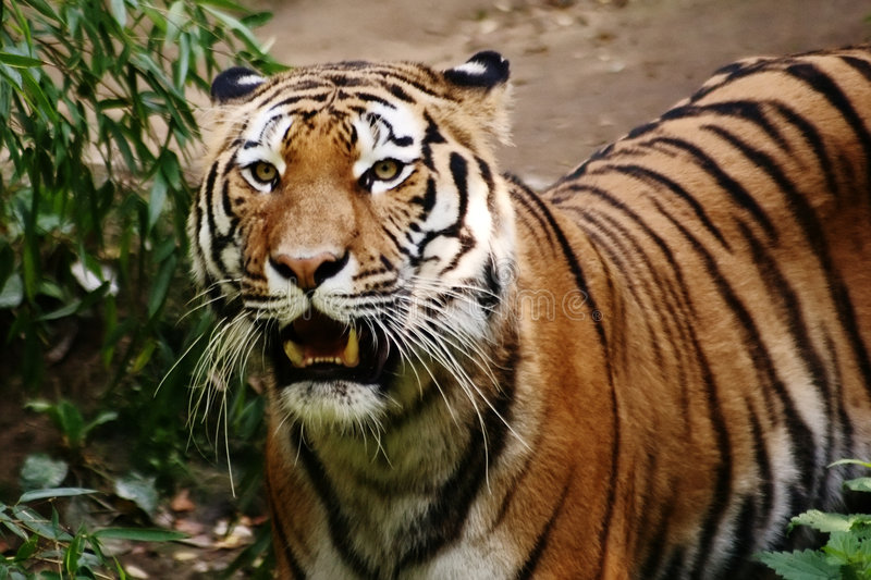 Tiger spotted in thicket stock photos