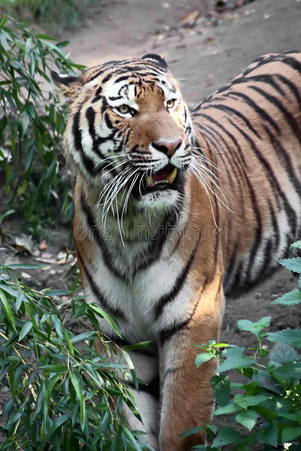 Tiger Spotted In Thicket Royalty Free Stock Photos