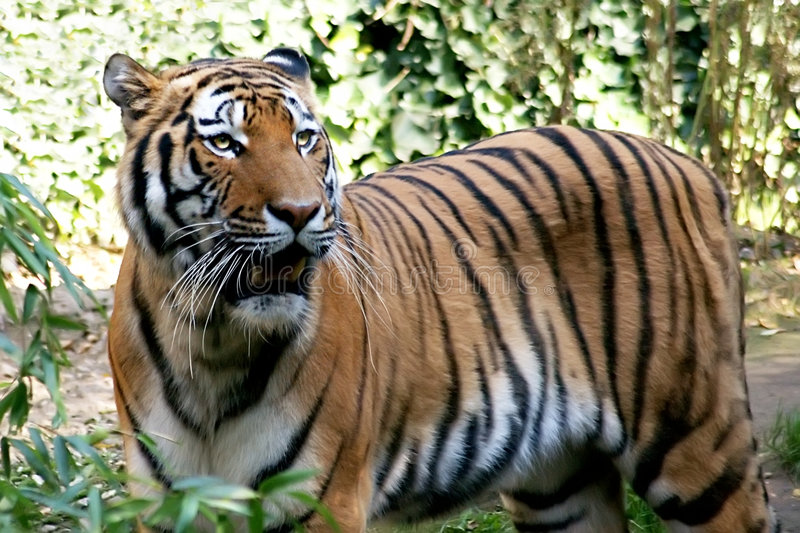 Download Tiger spotted in thicket stock photo. Image of wild, mammal - 7108962