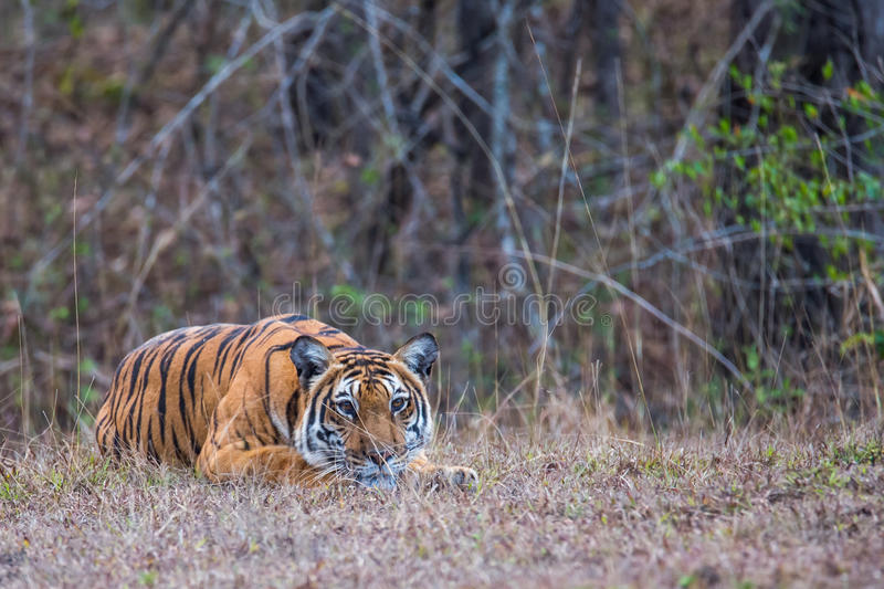 Tiger stalking. Bengal Tiger sighted in bhadra tiger reserve of India. Canon 6D f5.6 500mm 1/1200 ISO 400 stock photography