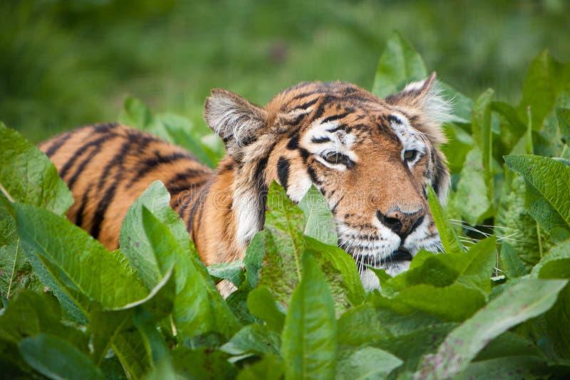 Tiger stalking prey. Tiger (Panthera tigris) stalking prey through undergrowth royalty free stock images