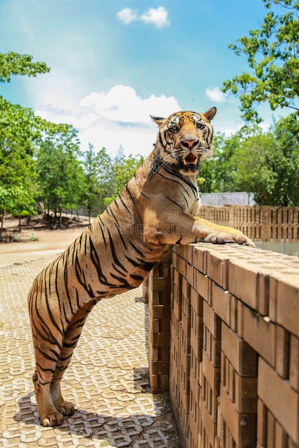 Tiger Standing royalty-vrije stock afbeeldingen