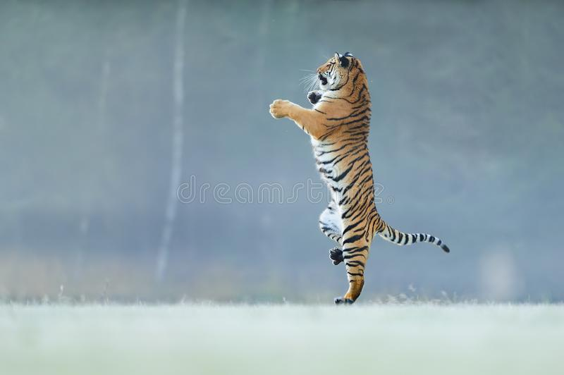 Tiger Stock Images - Download 97,991 Royalty Free Photos