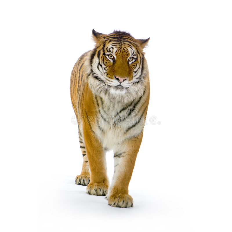 Tiger standing up stock image