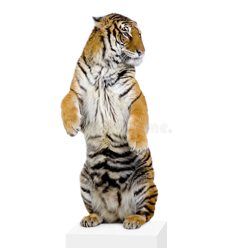Tiger standing up royalty free stock photography