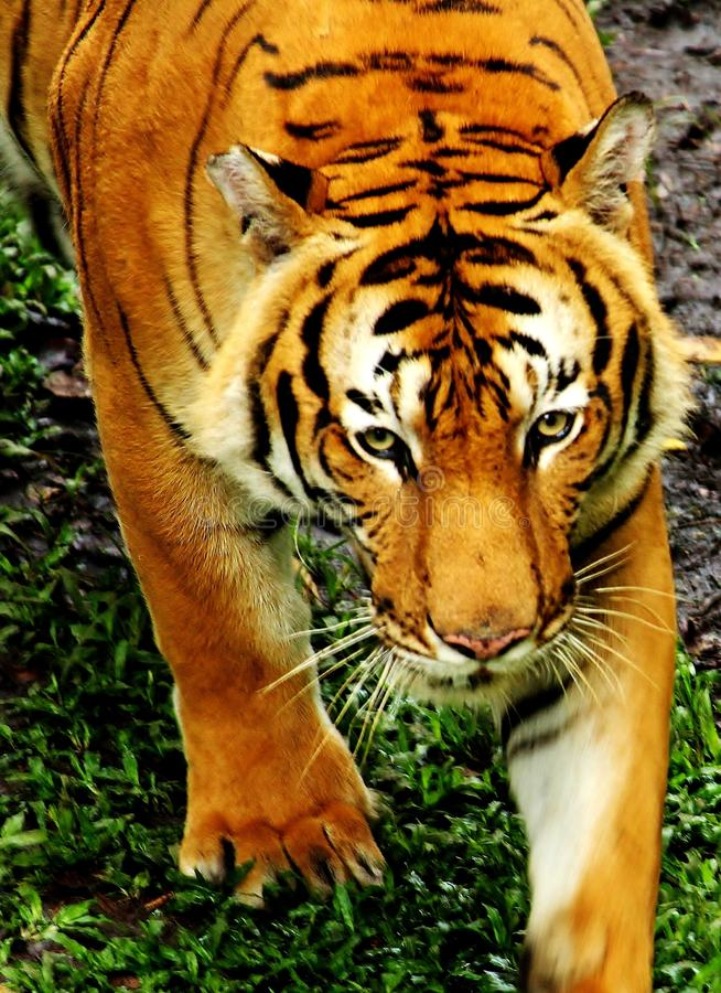 Tiger Stare imagens de stock royalty free