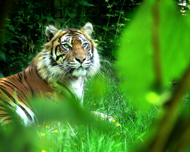 Download Tiger stare stock image. Image of resting, indian, watching - 8883153