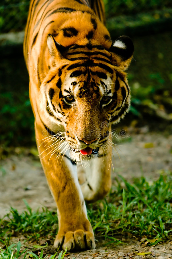 Download Tiger staring. stock image. Image of rock, feline, jungle - 3591269
