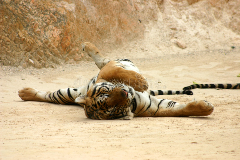 Tiger Stretching Royalty Free Stock Images