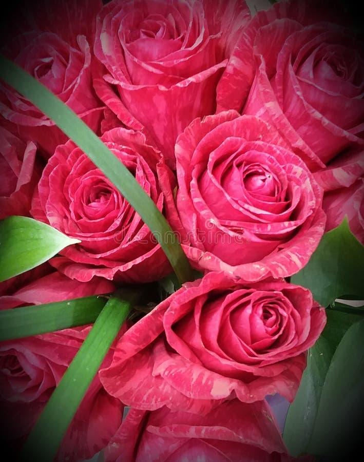 Tiger Stripe Roses rosso immagini stock