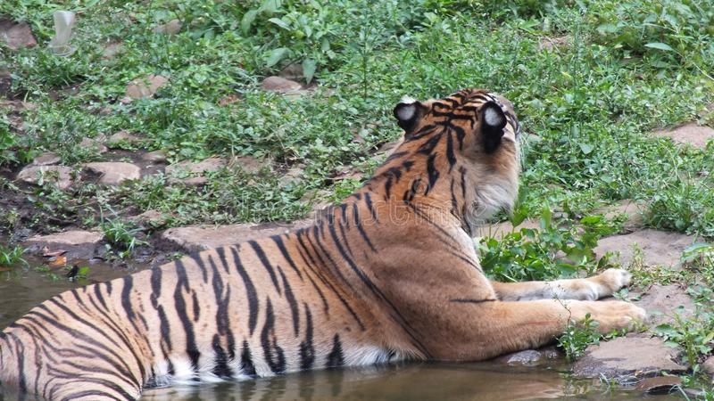 Panthera tigris sumatrae. Tiger subspecies, which are their natural habitat on the island of Sumatra, and are one of six tiger subspecies that still survive royalty free stock image