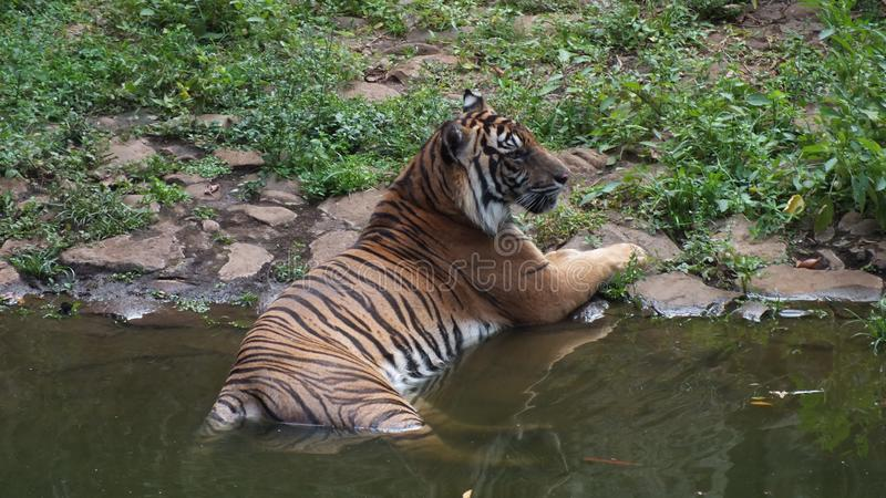 Panthera tigris sumatrae. Tiger subspecies, which are their natural habitat on the island of Sumatra, and are one of six tiger subspecies that still survive stock photography