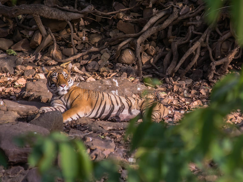 Tiger sultan wakeup. Sultan, the male son of t39 tigress spotted after having a sleep in ranthambhore national park stock photo