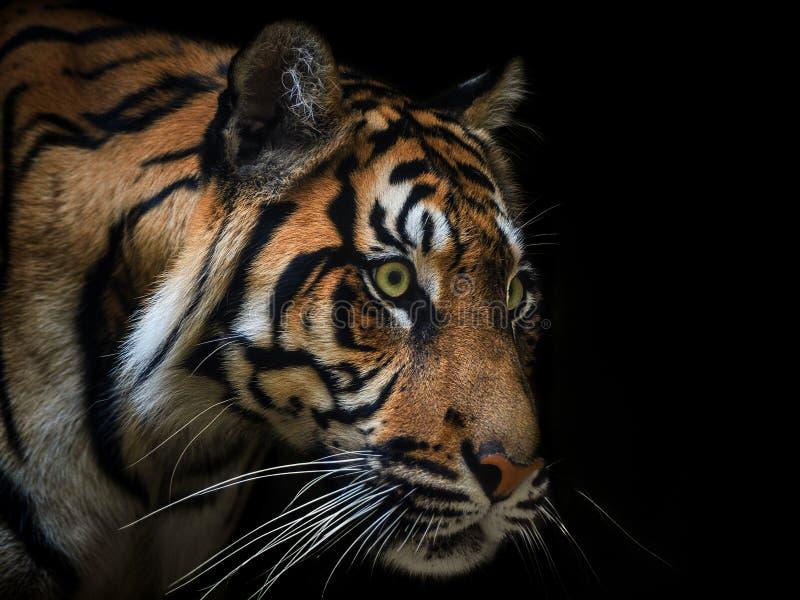Tiger Sumatran image libre de droits