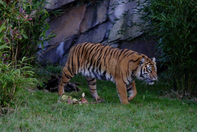 Tiger sumatran adulto nello zoo di Chester, Regno Unito immagini stock