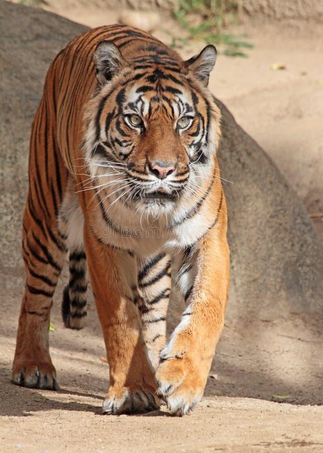 Tiger. Sumatran tiger on the prowl stock photo