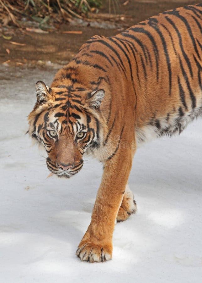 Tiger. Sumatran Tiger Walking in Snow royalty free stock image