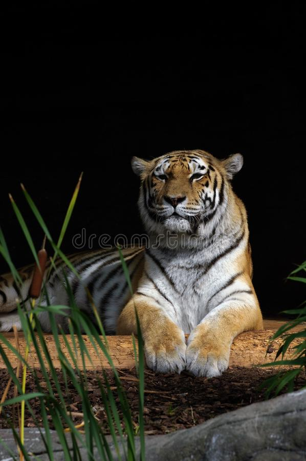 Download Tiger in the sun stock photo. Image of bengal, tier, pelz - 16320198