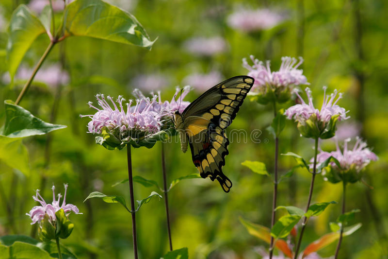 Download Tiger Swallowtail image stock. Image du rayé, sauvage - 45362399