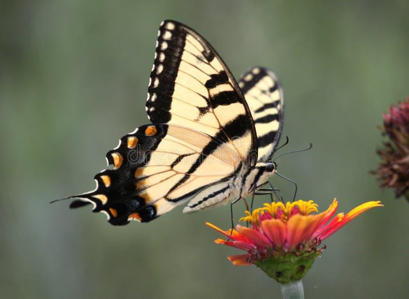 Tiger swallowtail auf Zinnia stockbild