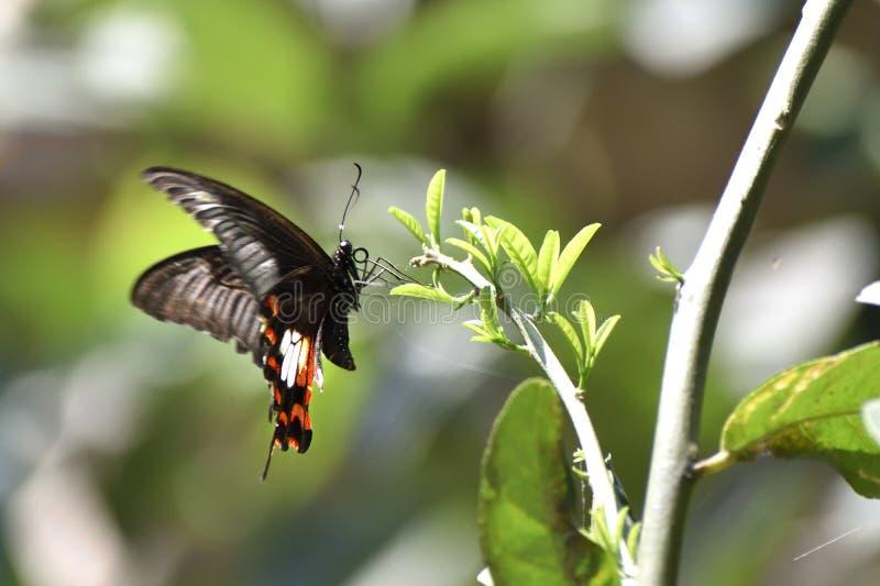 Tiger Swallowtail Butterflies oriental, papillons noirs, papillons de machaon images stock