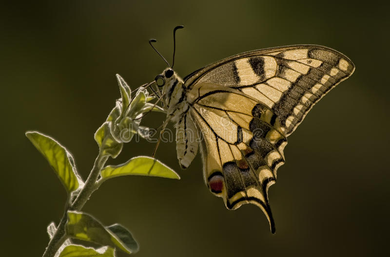 Tiger Swallowtail Butterfly royalty free stock photos