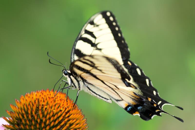Tiger Swallowtail Butterfly amarillo del este en la flor del cono fotografía de archivo