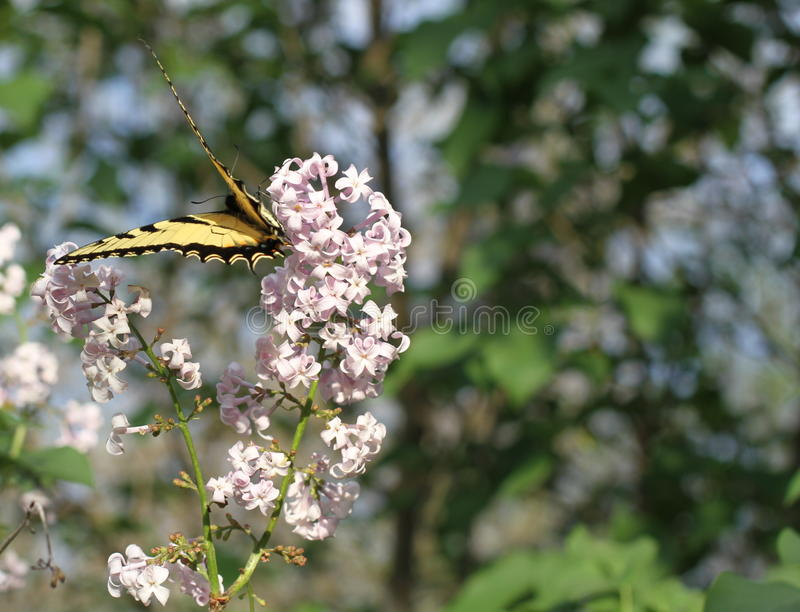 Tiger Swallowtail Butterfly bij lilac bloei stock afbeeldingen