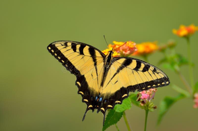 Tiger Swallowtail Butterfly del este fotografía de archivo libre de regalías