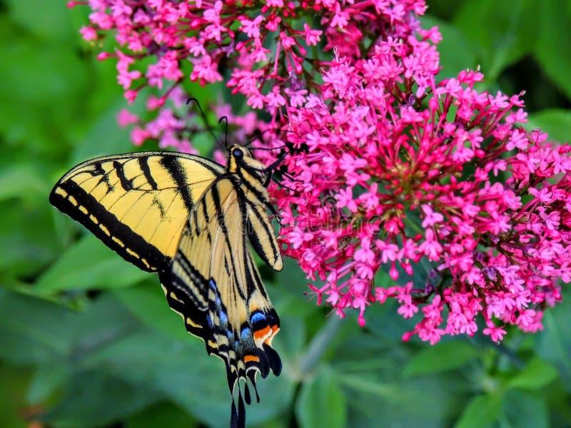 Tiger Swallowtail Butterfly del este colorido imagen de archivo