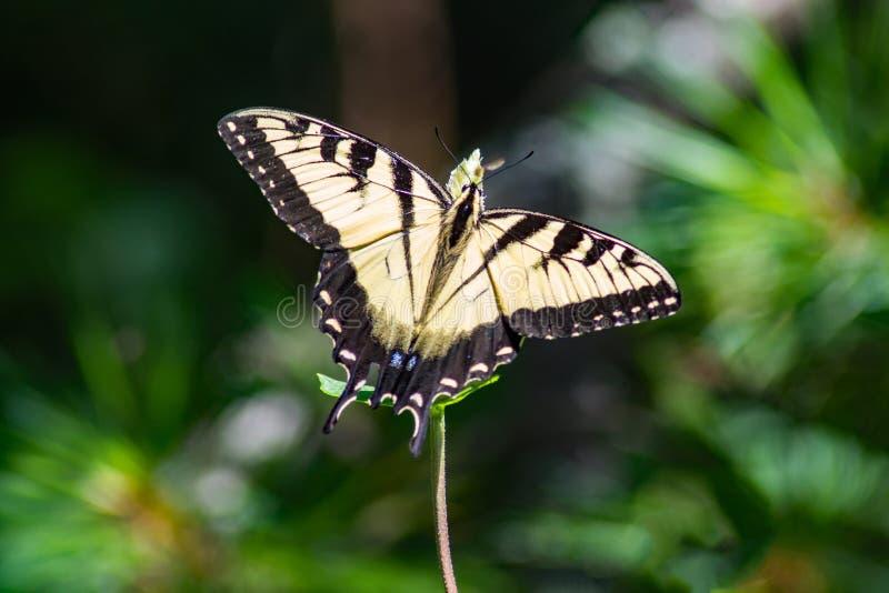 Tiger Swallowtail Butterfly Feeding del este fotografía de archivo