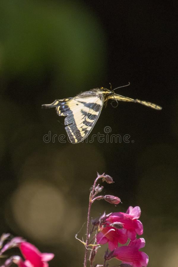 Tiger Swallowtail Butterfly Flying foto de stock