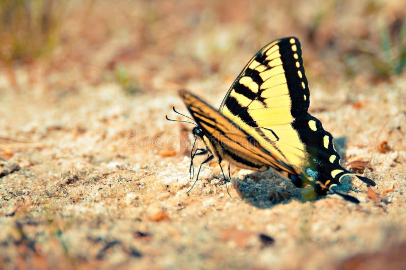 Tiger Swallowtail Butterfly Landed oriental amarelo em Sandy Beach imagens de stock royalty free