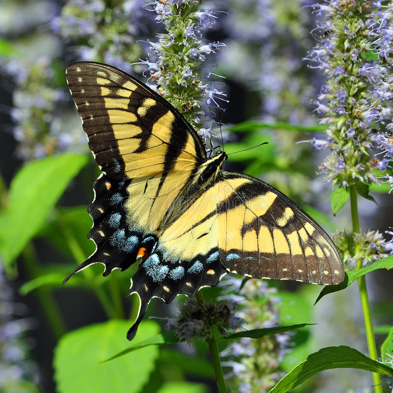 Tiger Swallowtail Butterfly oriental photo libre de droits