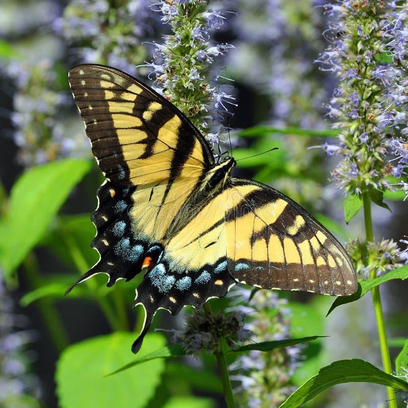 Tiger Swallowtail Butterfly orientale fotografia stock libera da diritti