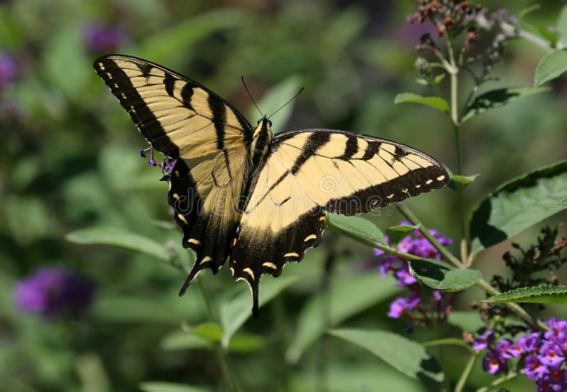 Tiger Swallowtail Butterfly (papilio glaucas). On purple flowers stock images