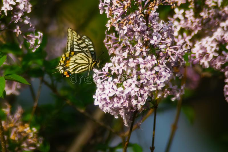 Tiger Swallowtail Butterfly Perched on Pink Petaled Flower at Daytime royalty free stock images